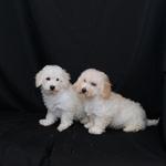 Bichon - Toy Poodle — Spruce Ridge Kennels