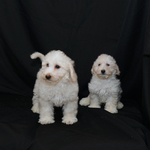 Bichon - Toy Poodle — Spruce Ridge Kennels
