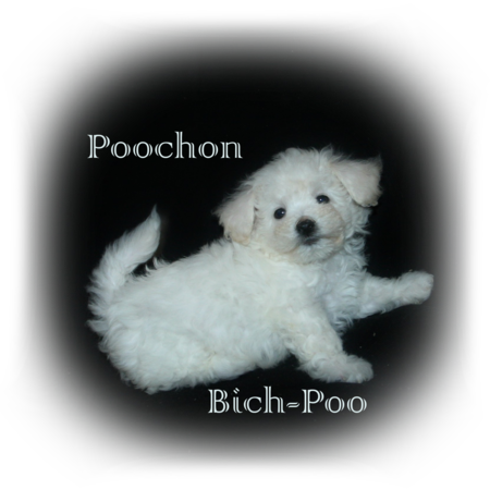 Bich-Poo / Poochon