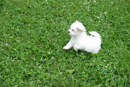 Bichon Frise Puppies on Bichon Frise Puppies
