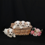 Biton Puppies ~ Female