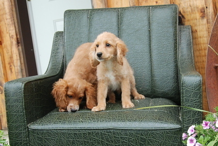 Cocker - Toy Poodle Puppies