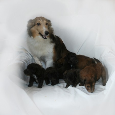 Danielle and her Babies - Sheltie Toy Poodle