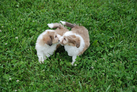 Sheltie Bichon Puppies
