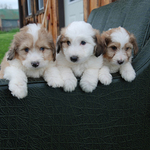 Sheltie Bichon Puppies Available