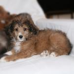 Sheltie Toy Poodle