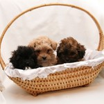 Shih Tzu - Toy Poodle -Oct 11, 2011