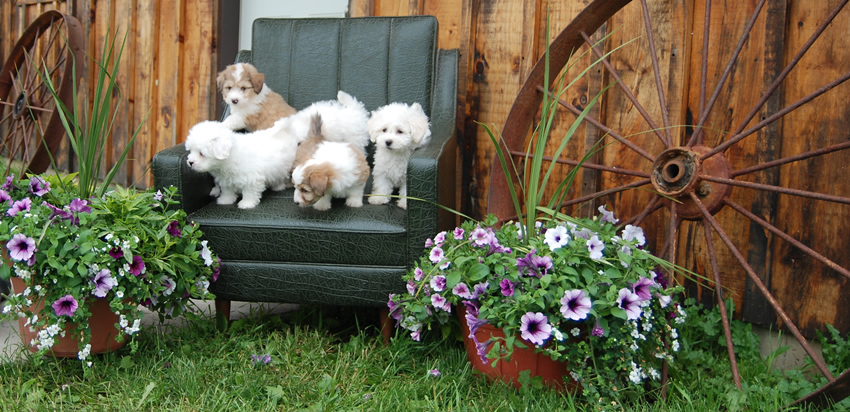 Spruce Ridge Kennels Puppies