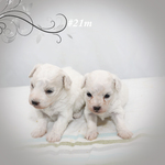 Puppies Available — Spruce Ridge Kennels